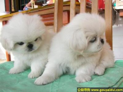 寻狗启示,京巴犬 - 高贵、聪慧、机灵,它是一只非常可爱的宠物狗狗,希望它早日回家,不要变成流浪狗。
