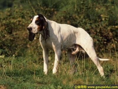 寻狗启示,加斯科大猎犬 - 嗅觉灵敏,声音洪亮,它是一只非常可爱的宠物狗狗,希望它早日回家,不要变成流浪狗。