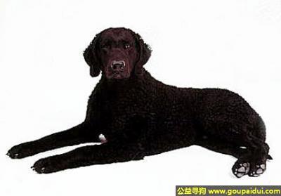 寻狗启示,卷毛寻回猎犬 - 勇敢、友好、自信和独立,它是一只非常可爱的宠物狗狗,希望它早日回家,不要变成流浪狗。