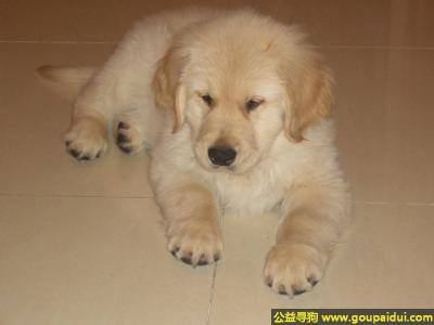 寻狗启示,金毛犬 - 友善、可靠、可信赖,它是一只非常可爱的宠物狗狗,希望它早日回家,不要变成流浪狗。