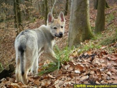 寻狗启示,捷克狼犬 - 对主人非常忠诚,温顺,它是一只非常可爱的宠物狗狗,希望它早日回家,不要变成流浪狗。