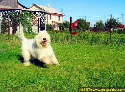 寻狗启示,可蒙犬 - 专注于主人的家庭或它照顾的羊群,它是一只非常可爱的宠物狗狗,希望它早日回家,不要变成流浪狗。