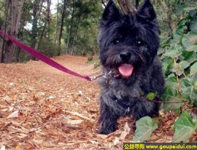 寻狗启示,凯恩梗犬 - 聪明,忠诚,活泼,与人和善,它是一只非常可爱的宠物狗狗,希望它早日回家,不要变成流浪狗。