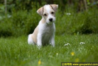 寻狗启示,克龙弗兰德犬 - 善良且具有捕猎天性,它是一只非常可爱的宠物狗狗,希望它早日回家,不要变成流浪狗。