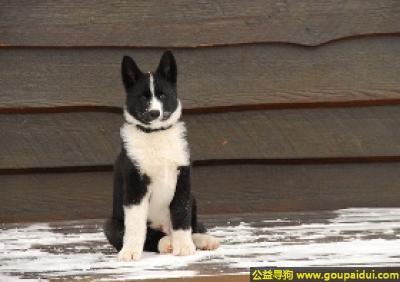 寻狗启示,卡累利亚熊犬 - 勇敢且顽固,非常的自信,它是一只非常可爱的宠物狗狗,希望它早日回家,不要变成流浪狗。