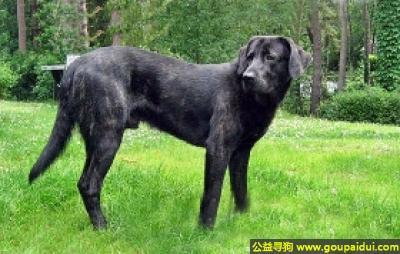 寻狗启示,卡斯托莱博瑞罗犬 - 安静、性情温和、可以调教,它是一只非常可爱的宠物狗狗,希望它早日回家,不要变成流浪狗。