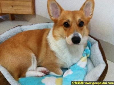 寻狗启示,柯基犬 - 友好、勇敢、大胆,它是一只非常可爱的宠物狗狗,希望它早日回家,不要变成流浪狗。