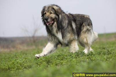 寻狗启示,卡斯特牧羊犬 - 良好、勇敢、但不咬人,它是一只非常可爱的宠物狗狗,希望它早日回家,不要变成流浪狗。