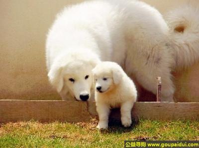 寻狗启示,库瓦兹犬 - 聪明、果断、勇敢而且有好奇心,它是一只非常可爱的宠物狗狗,希望它早日回家,不要变成流浪狗。