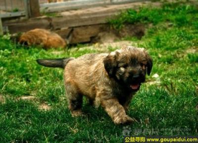 寻狗启示,卡塔兰牧羊犬 - 强壮、快乐、耐寒性,它是一只非常可爱的宠物狗狗,希望它早日回家,不要变成流浪狗。