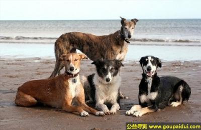 寻狗启示,灵缇犬 - 感情丰富,有规矩,爱护小孩,它是一只非常可爱的宠物狗狗,希望它早日回家,不要变成流浪狗。