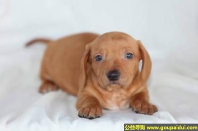 ,标准短毛腊肠犬 - 活泼,开朗,勇敢,它是一只非常可爱的宠物狗狗,希望它早日回家,不要变成流浪狗。