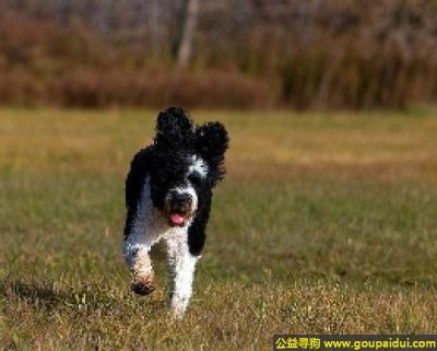 寻狗启示,罗福梗 - 矮、敏锐,身体结构结实,它是一只非常可爱的宠物狗狗,希望它早日回家,不要变成流浪狗。