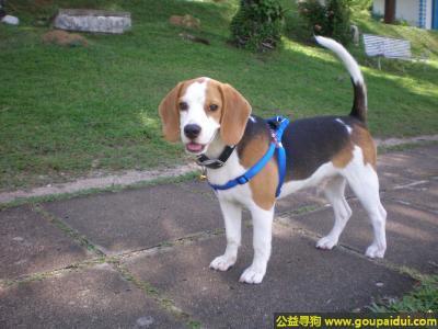 寻狗启示,猎兔犬 - 活跃、非常和谐、充满力量,它是一只非常可爱的宠物狗狗,希望它早日回家,不要变成流浪狗。