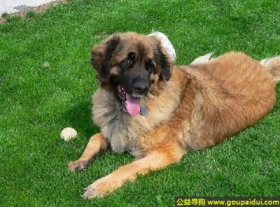 寻狗启示,兰伯格犬 - 性情平和、自信,它是一只非常可爱的宠物狗狗,希望它早日回家,不要变成流浪狗。