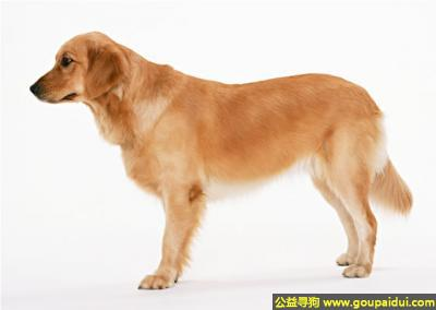 寻狗启示,拉布拉多犬 - 活泼好动、忠实主人、服从指挥,它是一只非常可爱的宠物狗狗,希望它早日回家,不要变成流浪狗。