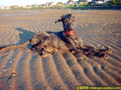 寻狗启示,猎鹿犬 - 温顺且友好,听话、容易训练,它是一只非常可爱的宠物狗狗,希望它早日回家,不要变成流浪狗。