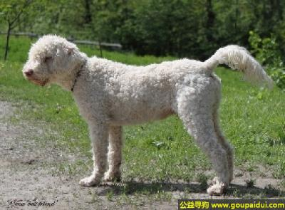 寻狗启示,罗曼娜水犬 - 活泼、好学,热爱工作,它是一只非常可爱的宠物狗狗,希望它早日回家,不要变成流浪狗。
