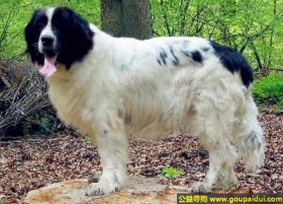寻狗启示,兰西尔犬 - 机敏、友善,它是一只非常可爱的宠物狗狗,希望它早日回家,不要变成流浪狗。