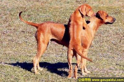 寻狗启示,罗德西亚脊背犬 - 耐力持久、速度快,它是一只非常可爱的宠物狗狗,希望它早日回家,不要变成流浪狗。