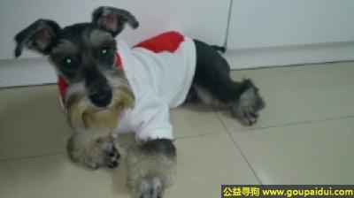 寻狗启示,迷你雪纳瑞犬 - 聪明、乐于取悦主任,它是一只非常可爱的宠物狗狗,希望它早日回家,不要变成流浪狗。