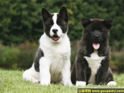 寻狗启示,美国秋田犬 - 强壮、自信、独立,它是一只非常可爱的宠物狗狗,希望它早日回家,不要变成流浪狗。