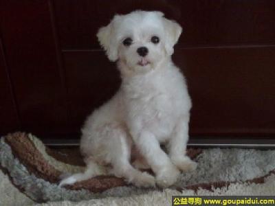 寻狗启示,马尔济斯犬 - 文雅而深情、热切而行动活泼,它是一只非常可爱的宠物狗狗,希望它早日回家,不要变成流浪狗。