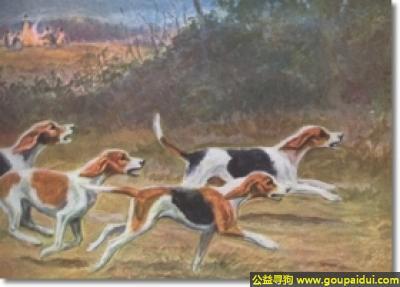 寻狗启示,美国猎狐犬 - 精力旺盛、体格拥有魅力,它是一只非常可爱的宠物狗狗,希望它早日回家,不要变成流浪狗。