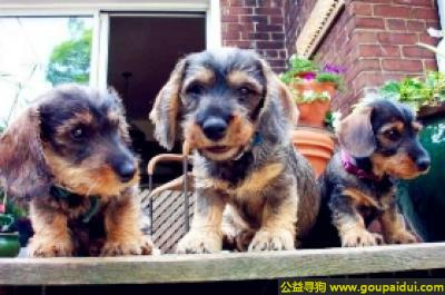 寻狗启示,迷你刚毛腊肠犬 - 性情平和、热情、坚定,它是一只非常可爱的宠物狗狗,希望它早日回家,不要变成流浪狗。