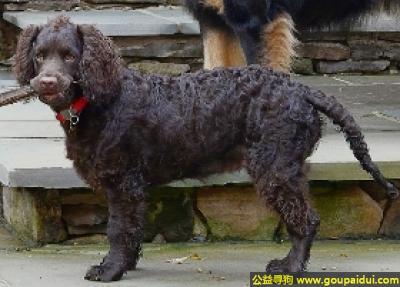 寻狗启示,美国水猎犬 - 聪明,会取悦人,友好,它是一只非常可爱的宠物狗狗,希望它早日回家,不要变成流浪狗。