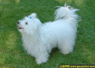 寻狗启示,棉花面纱犬 - 温顺活泼且忠诚,它是一只非常可爱的宠物狗狗,希望它早日回家,不要变成流浪狗。