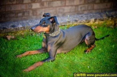 寻狗启示,曼彻斯特梗 - 忠实、不爱吵闹,它是一只非常可爱的宠物狗狗,希望它早日回家,不要变成流浪狗。