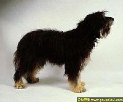 ,斯提瑞恩粗毛猎犬 - 安静温柔的伴侣犬,它是一只非常可爱的宠物狗狗,希望它早日回家,不要变成流浪狗。