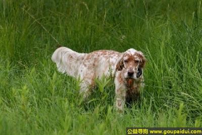 寻狗启示,英国雪达蹲猎犬 - 温和、挚爱、友善,它是一只非常可爱的宠物狗狗,希望它早日回家,不要变成流浪狗。