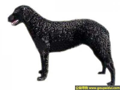,卷毛巡回犬 - 热情、稳固、天性勇敢,它是一只非常可爱的宠物狗狗,希望它早日回家,不要变成流浪狗。