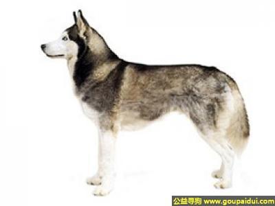 ,哈士奇狗 - 聪明、温顺、热心,它是一只非常可爱的宠物狗狗,希望它早日回家,不要变成流浪狗。