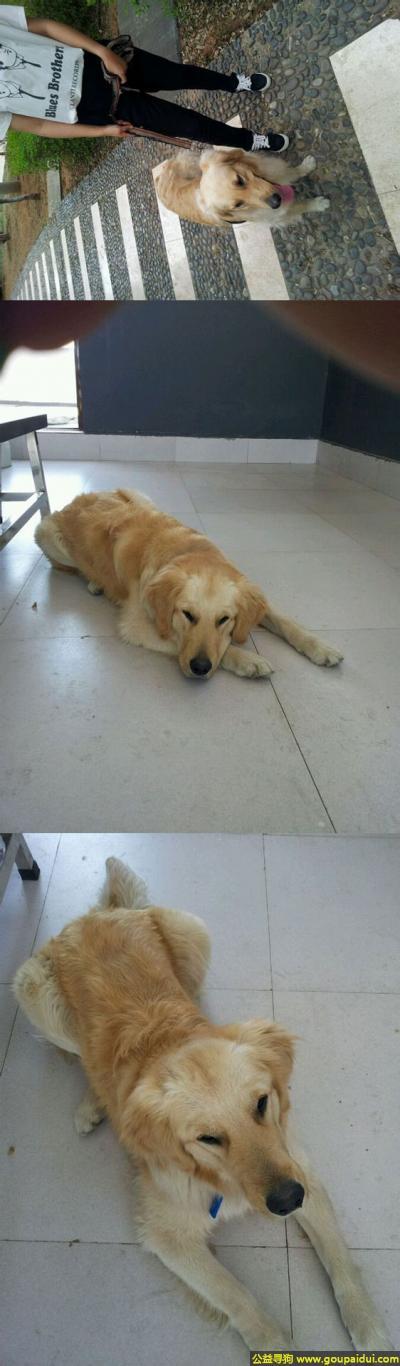 楚雄寻狗启示,南省楚雄市西山公园丢失一只名叫多多有点卷毛的金毛,它是一只非常可爱的宠物狗狗,希望它早日回家,不要变成流浪狗。