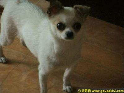 ,川省自贡市东锅菜市场寻狗六岁白色有点瘸的吉娃娃,它是一只非常可爱的宠物狗狗,希望它早日回家,不要变成流浪狗。
