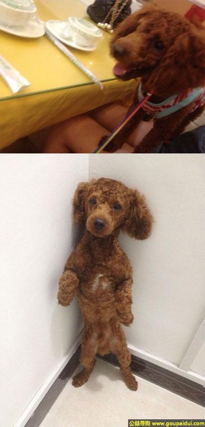 永州寻狗启示,南省永州市宁远县寻狗港行数码街丢失名叫安东尼红棕色泰迪,它是一只非常可爱的宠物狗狗,希望它早日回家,不要变成流浪狗。