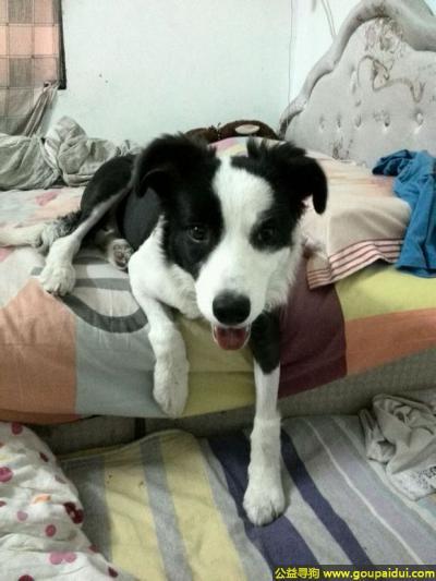 攀枝花寻狗启示,川省攀枝花市东区寻狗长寿路老年大学附近走丢边牧犬,它是一只非常可爱的宠物狗狗,希望它早日回家,不要变成流浪狗。