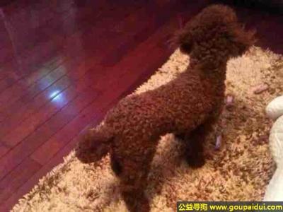 黔西南寻狗网,州省黔西南寻狗南环路走失短毛泰迪,它是一只非常可爱的宠物狗狗,希望它早日回家,不要变成流浪狗。