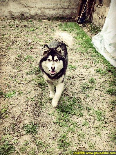 ,林省通化市寻狗江北加油站附近走失黑色阿拉斯加母狗,它是一只非常可爱的宠物狗狗,希望它早日回家,不要变成流浪狗。