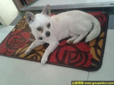 寻狗启示,川省绵阳市游仙区寻狗老龙山走丢一岁半白色吉娃娃,它是一只非常可爱的宠物狗狗,希望它早日回家,不要变成流浪狗。
