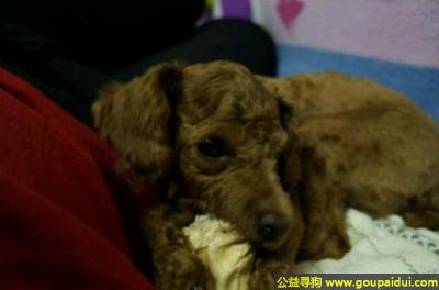 寻狗启示,京市通州区次渠镇寻狗府东苑小区丢失名叫拳头的泰迪母狗,它是一只非常可爱的宠物狗狗,希望它早日回家,不要变成流浪狗。