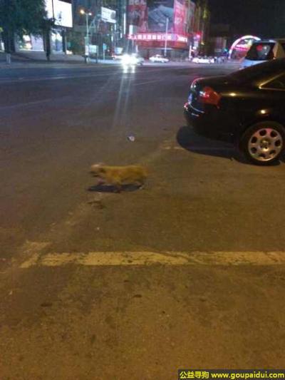 白城寻狗启示,林省白城市发现一只流浪狗黄色的小博美,它是一只非常可爱的宠物狗狗,希望它早日回家,不要变成流浪狗。