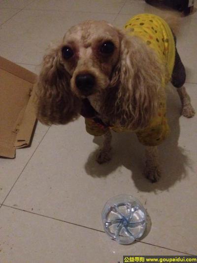 绵阳找狗主人,川省绵阳市紫阳村天英庄(火锅店)捡到一只狗狗,它是一只非常可爱的宠物狗狗,希望它早日回家,不要变成流浪狗。