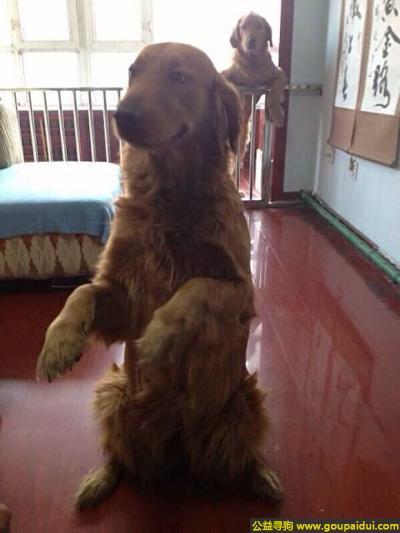 黑河找狗,龙江省黑河市嫩江县寻狗两只金毛,它是一只非常可爱的宠物狗狗,希望它早日回家,不要变成流浪狗。