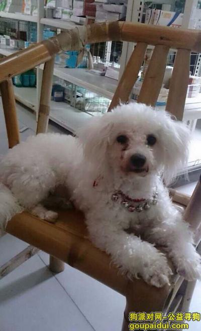 抚州丢狗,西省抚州市黎川县寻狗名叫卷毛白马附近丢失,它是一只非常可爱的宠物狗狗,希望它早日回家,不要变成流浪狗。