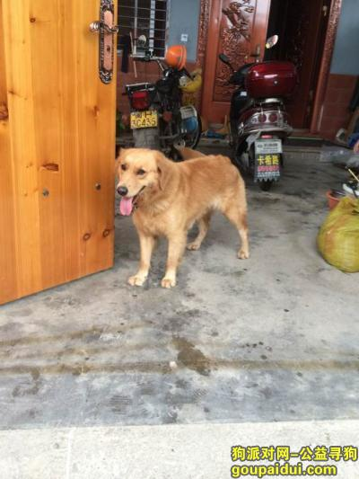 ,建省南平市武夷山市寻狗名字叫淘淘金毛母狗,它是一只非常可爱的宠物狗狗,希望它早日回家,不要变成流浪狗。