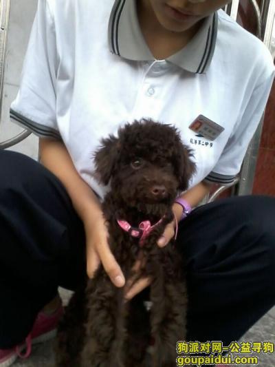 县寻狗龙港洪口路丢失一只棕色(黑)泰迪,它是一只非常可爱的宠物狗狗